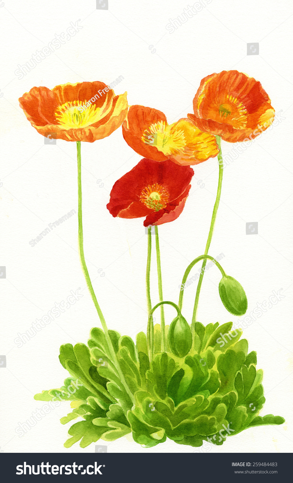 Orange Poppies Buds Watercolor Painting Illustration Stock