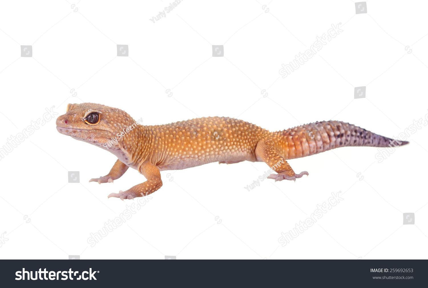 Yellow Orange Spotted Leopard Gecko On Stock Photo