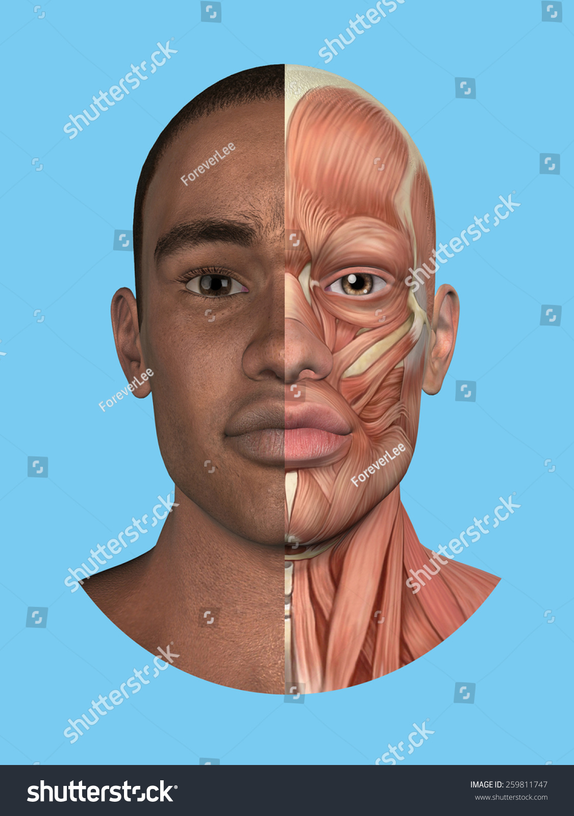 Anatomy Split Front View Face Major Stock Illustration 259811747 ...
