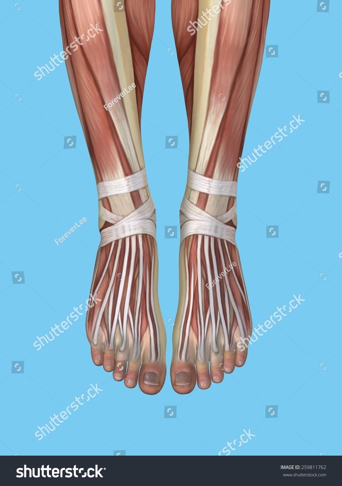 Anatomy Foot Featuring Extensor Digitorum Longus Stock Illustration ...