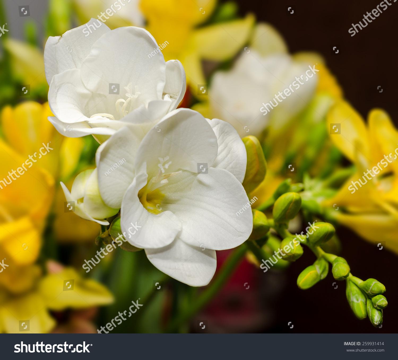 White Freesia Flowers Close Up Yellow Stock Photo Royalty Free