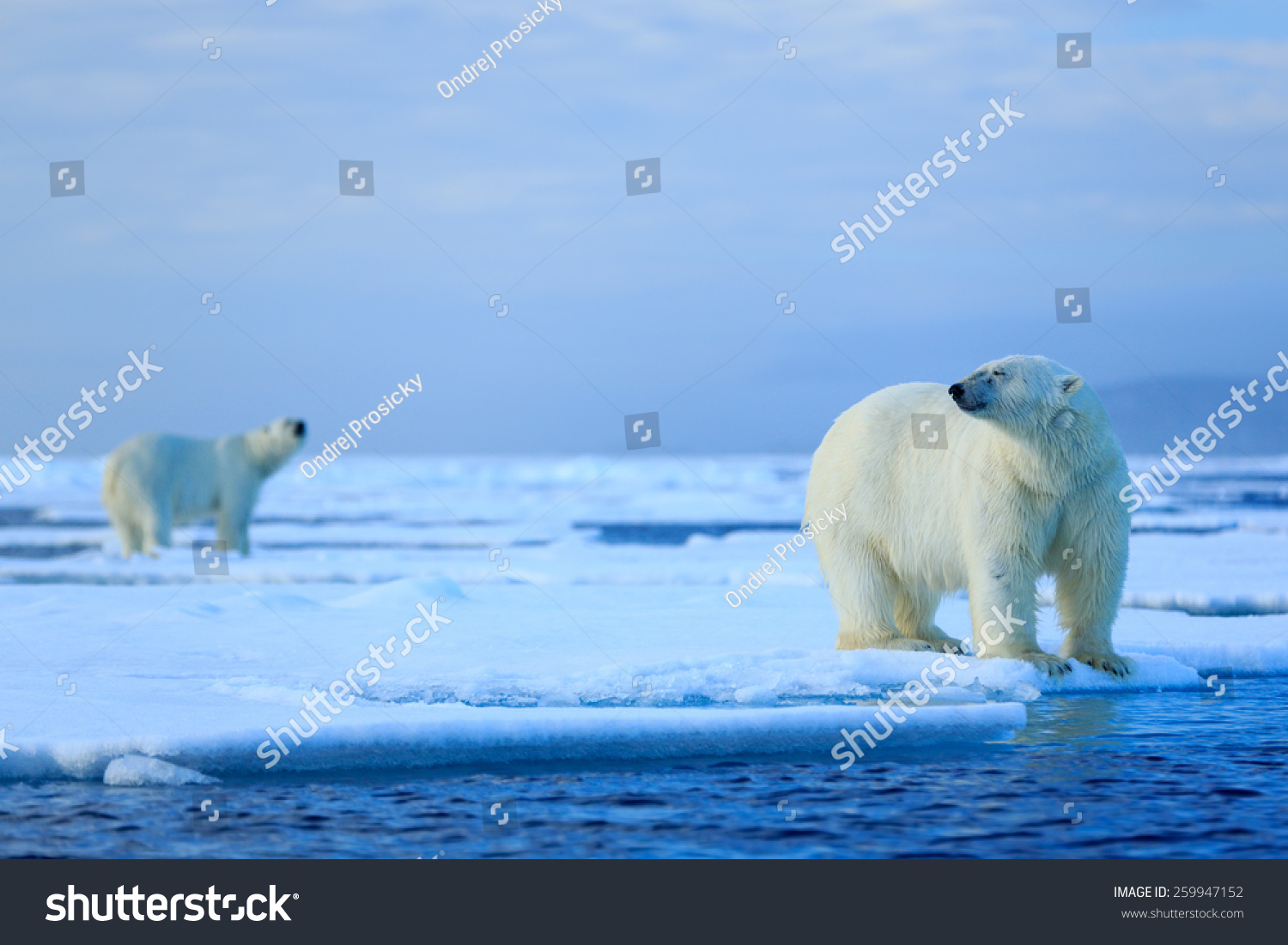 polar bear couple - photo #19