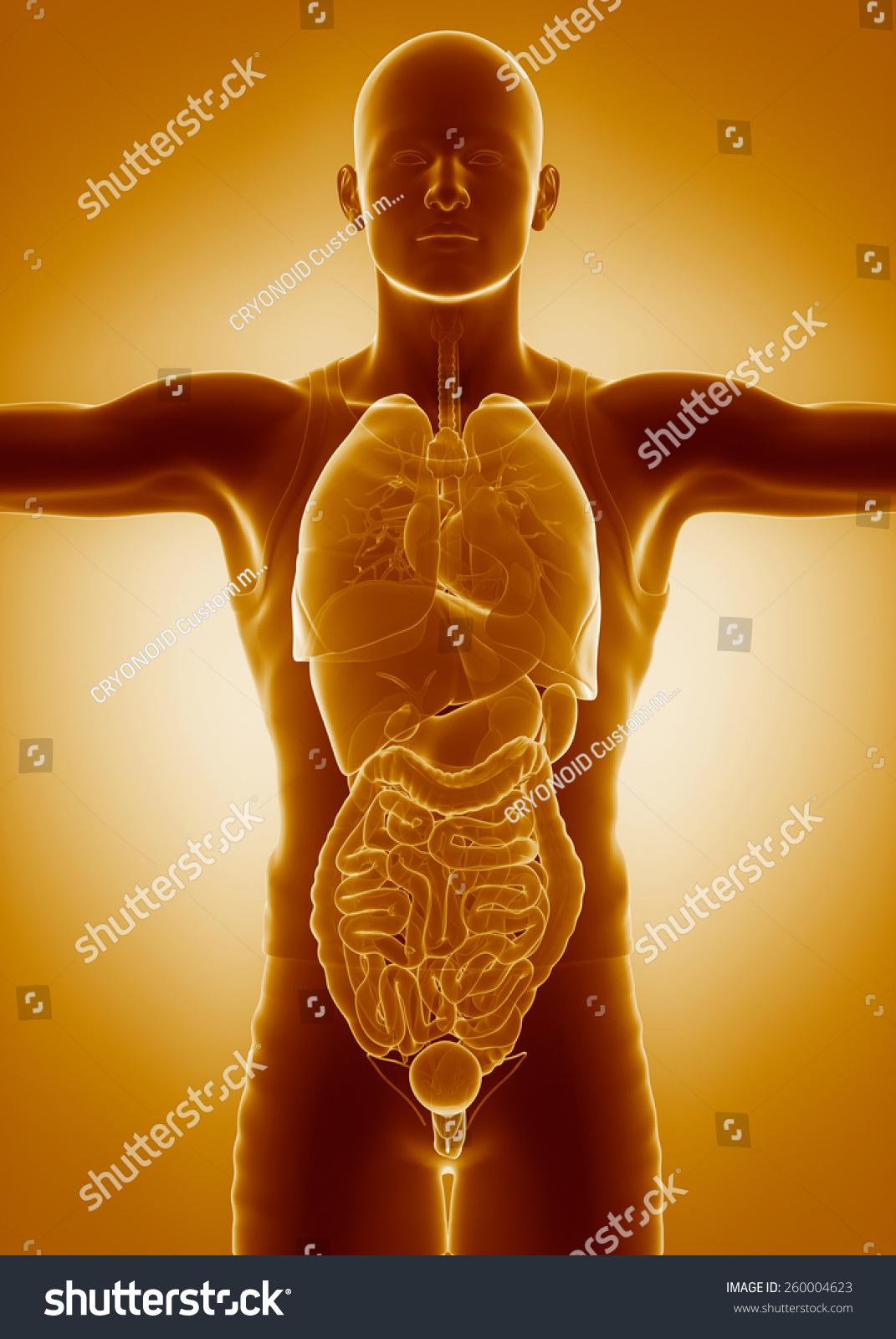 Medical Anatomy Scan ORGANS Stock Illustration 260004623 - Shutterstock