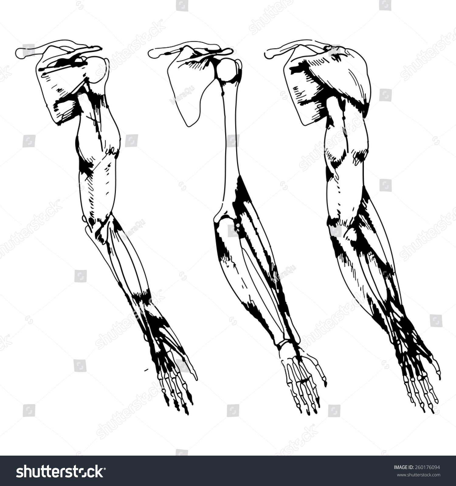 Arm Bones Muscle Vector Illustration Parts Stock Vector Royalty