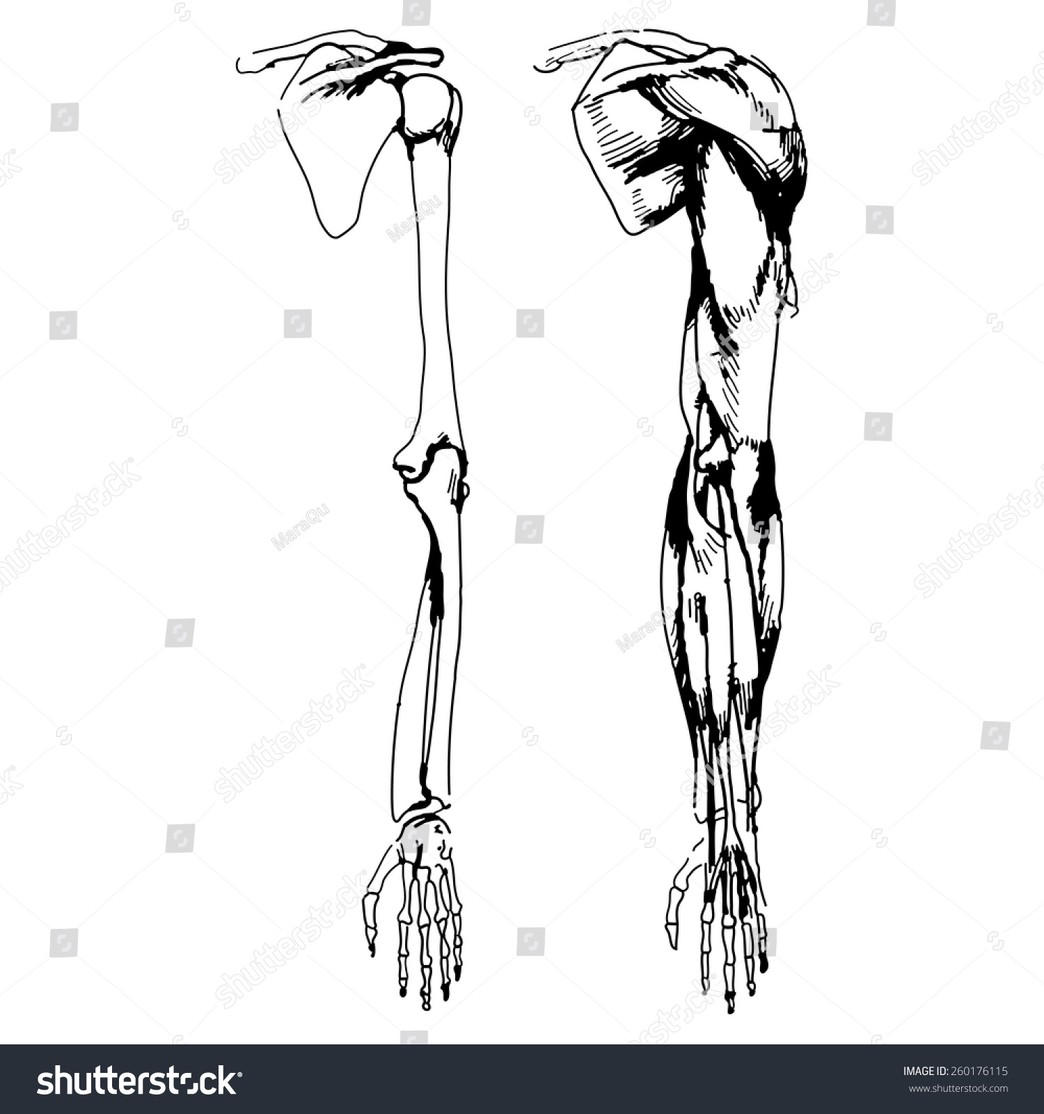 Arm Bones Muscle Vector Illustration Parts Stock Vector 260176115 ...