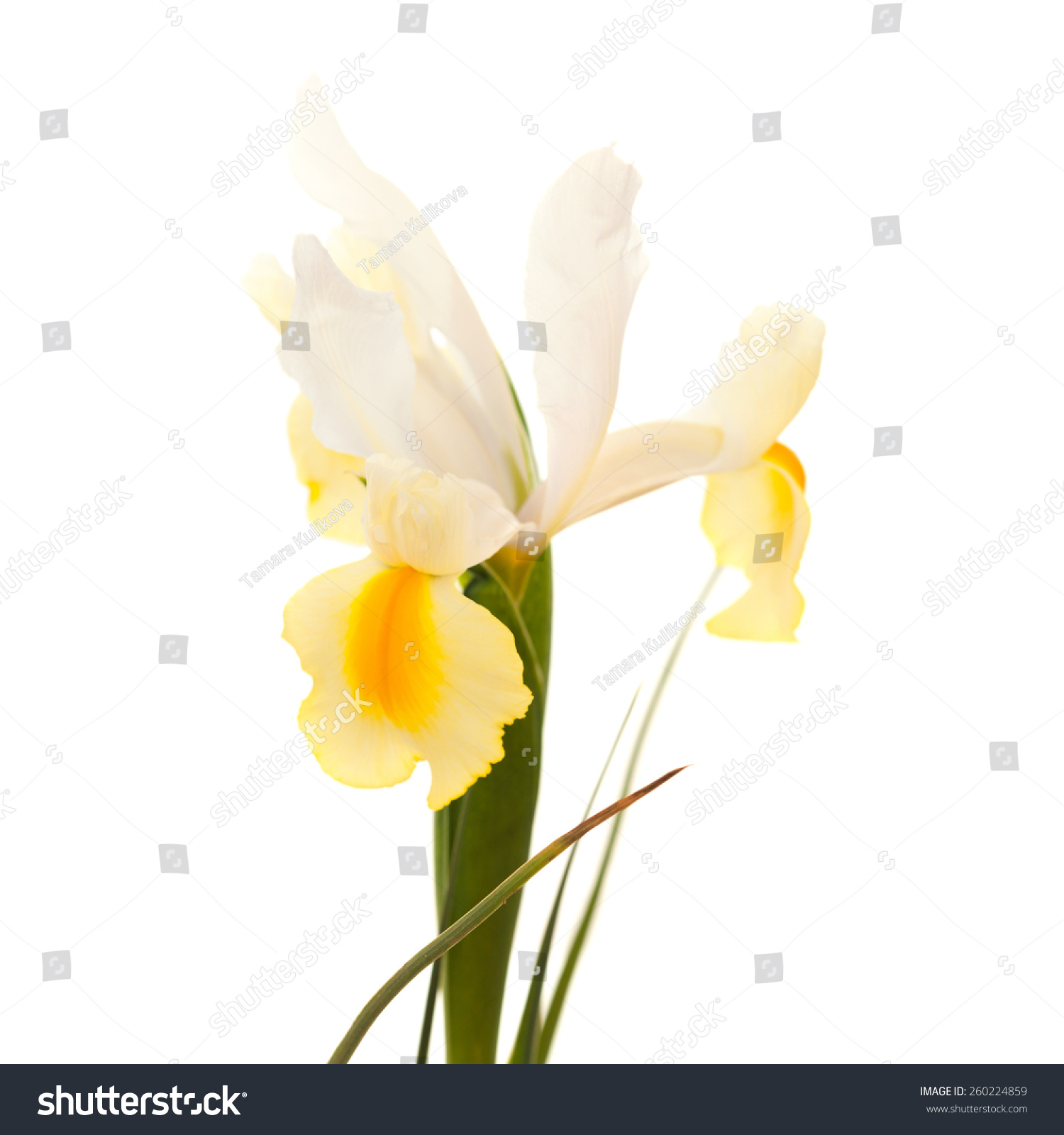 Yellow White Iris Flower Isolated On Stock Photo 260224859