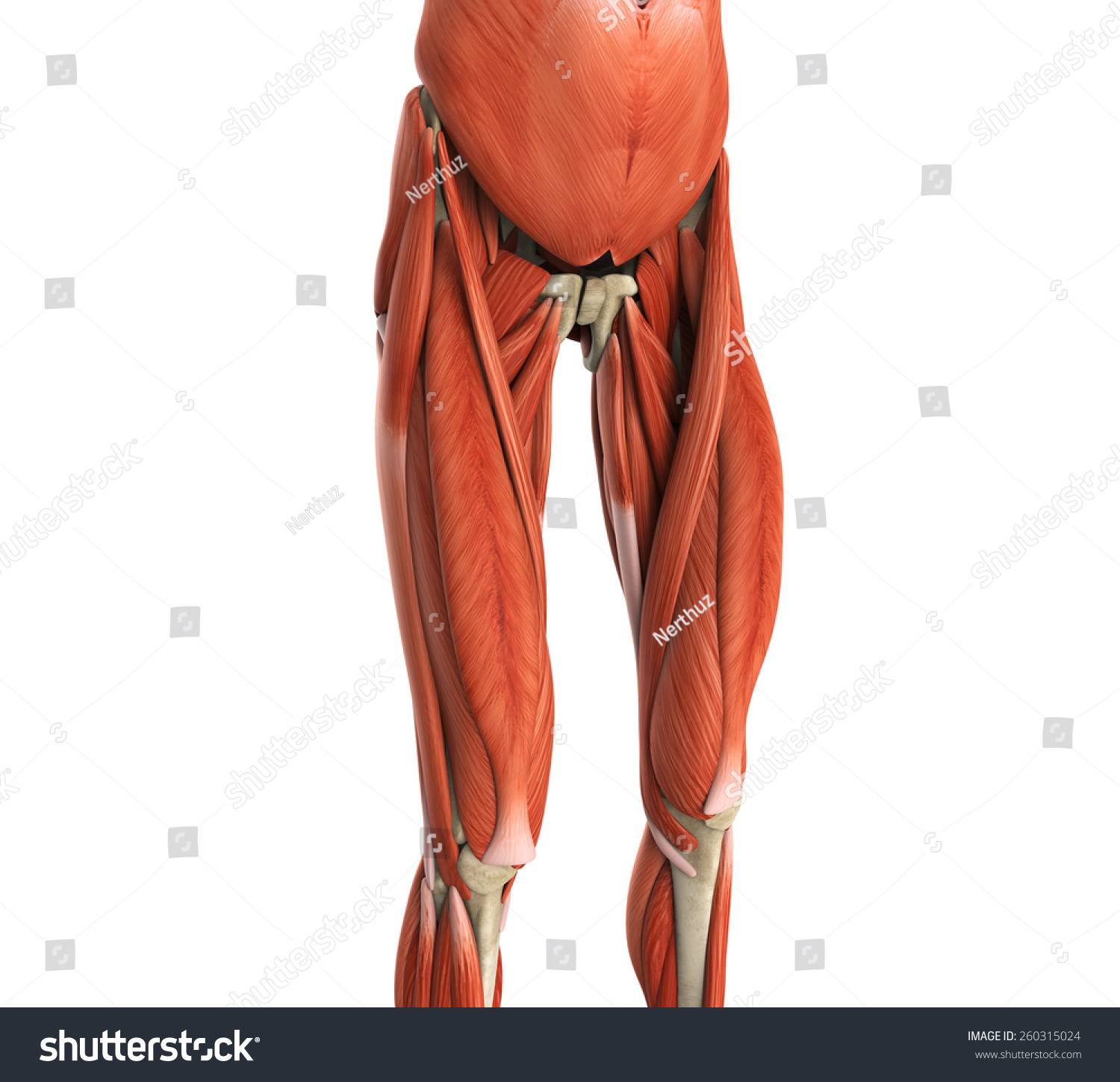 Royalty Free Stock Illustration Of Upper Legs Muscles Anatomy Stock