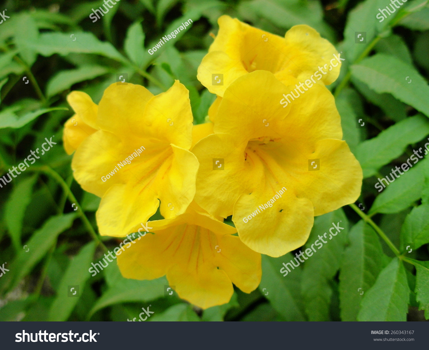 Yellow Elder Flower Stock Photo Edit Now 260343167 Shutterstock