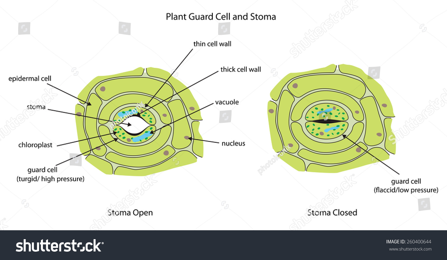 Labeled Diagram Showing Plant Stoma Open Stock Vector Royalty Free Parts As Well Cell Structure Further And Closed