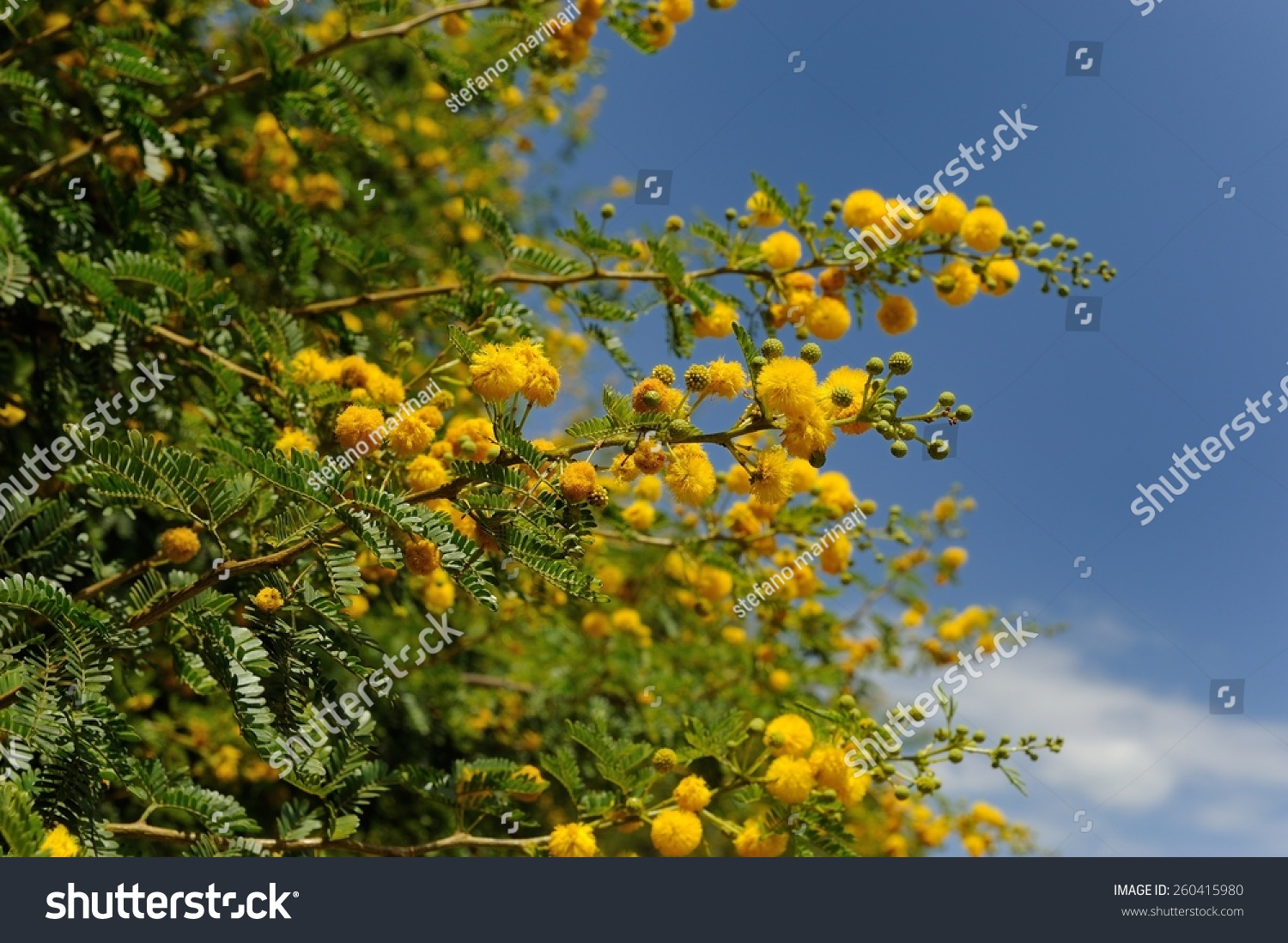 A yellow flower called mimosa with green leafs on a tree ez canvas id 260415980 mightylinksfo