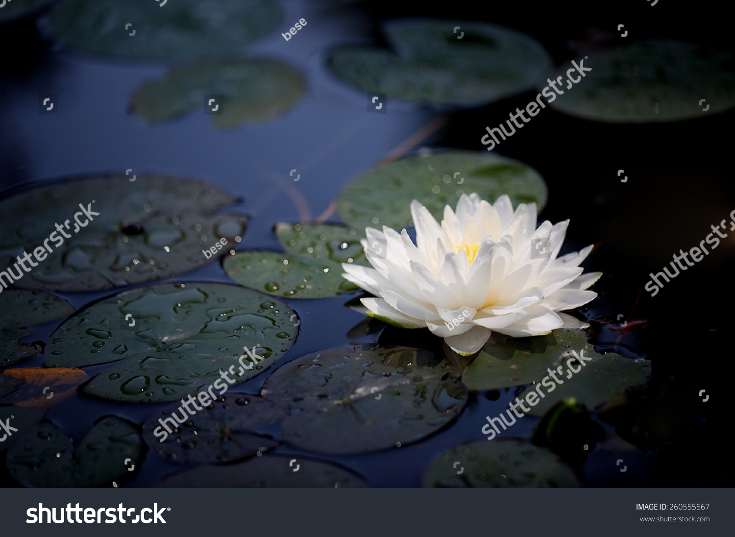 Waterlily lotus flowers floating on water stock photo for Floating flowers in water
