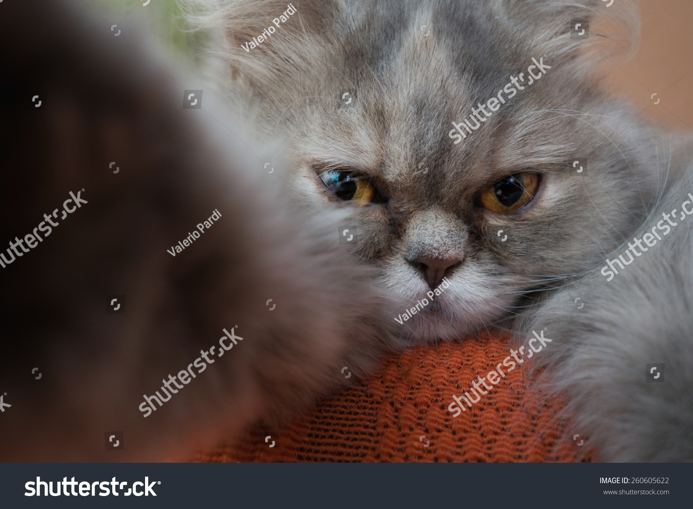 Gray Persian Cat Take Selfie Stock Shutterstock