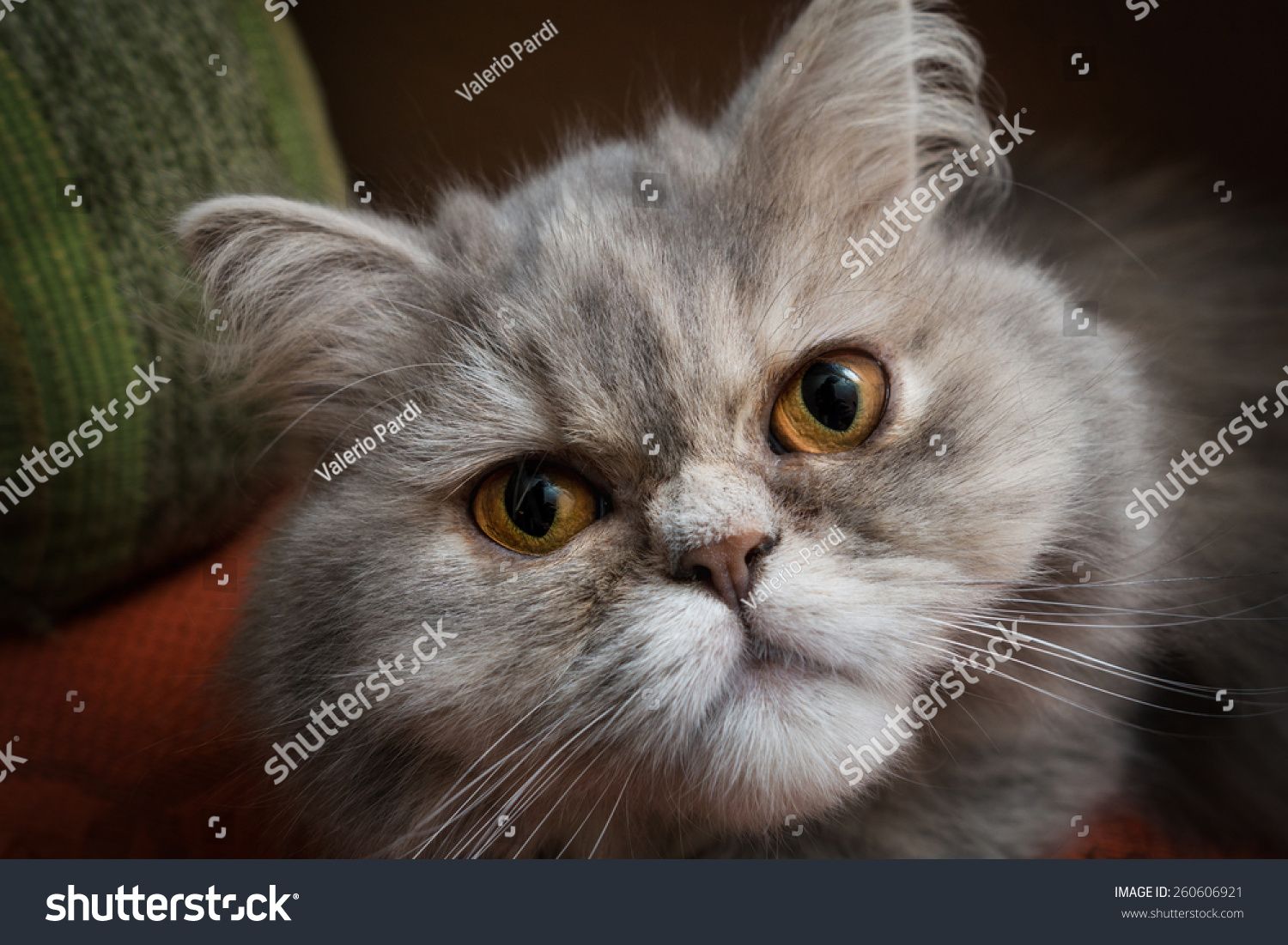Gray Persian Cat Resting Couch Stock Shutterstock