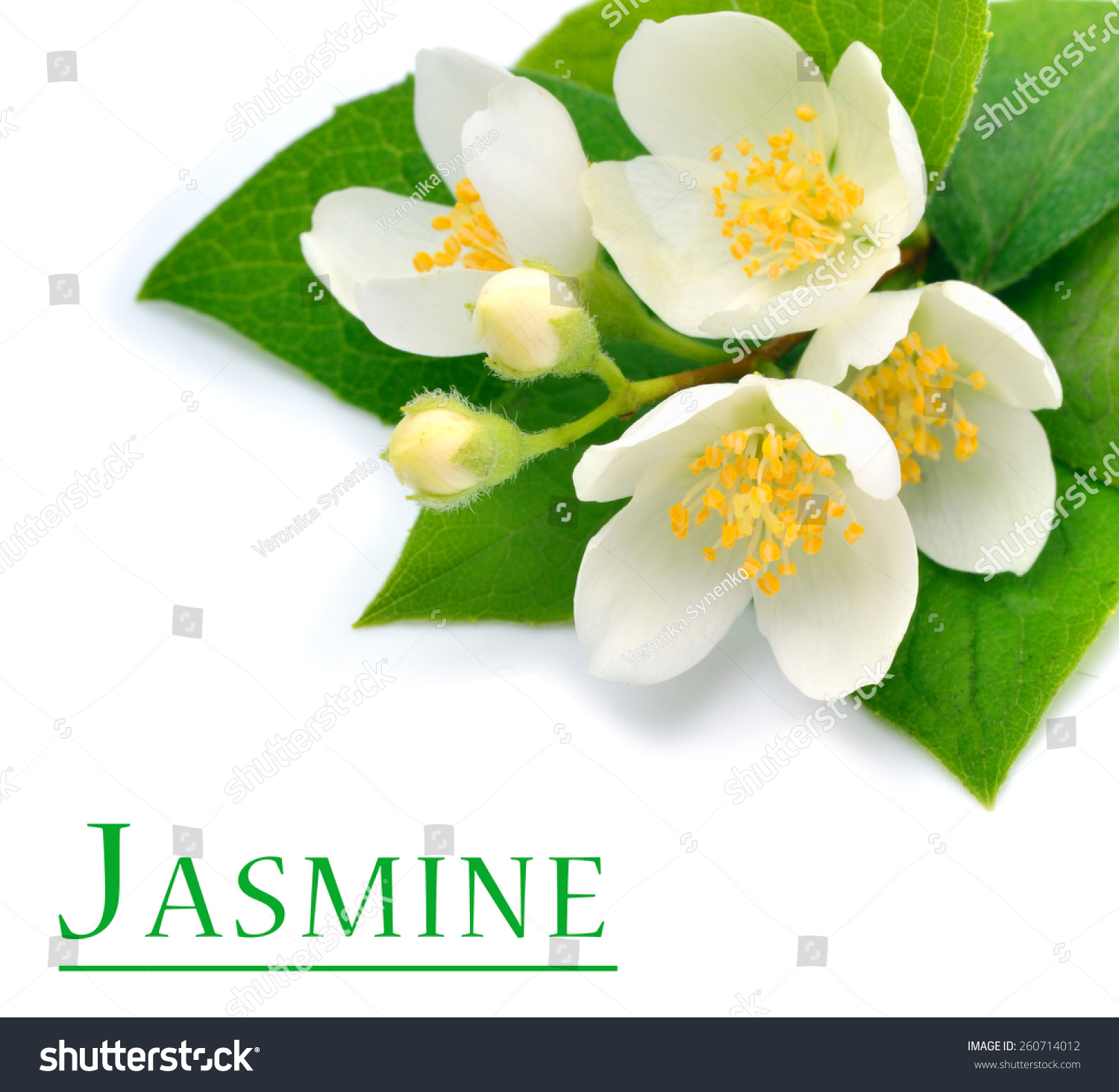 Blossom Jasmine Flower Isolated On White Stock Photo Royalty Free