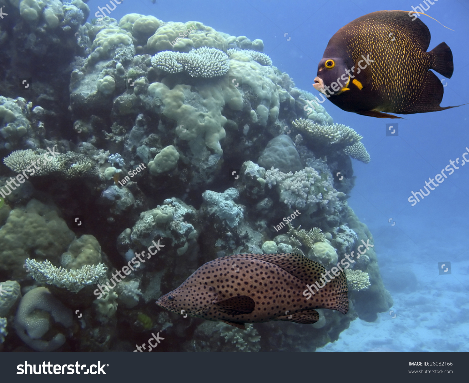Brown Yellow Spotted Angelfish And Barramundi Cod Swimming Over Reef ...