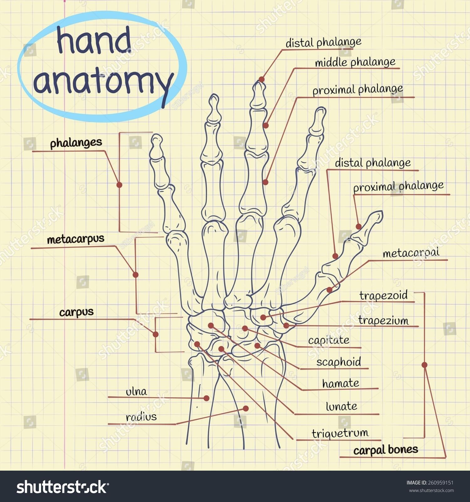 Vector Drawing Anatomy Hand Bones Stock Vector Royalty Free