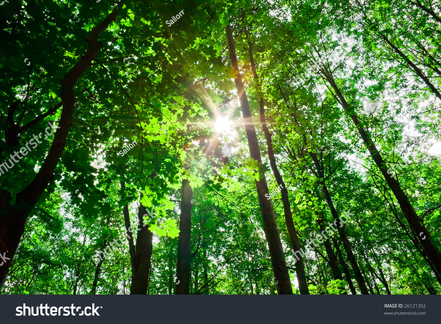 Nice Sunny Day In Green Forest With High Trees Stock Photo