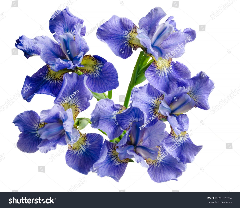 Bouquet iris flower isolated on white stock photo edit now bouquet iris flower isolated on white background overhead view izmirmasajfo
