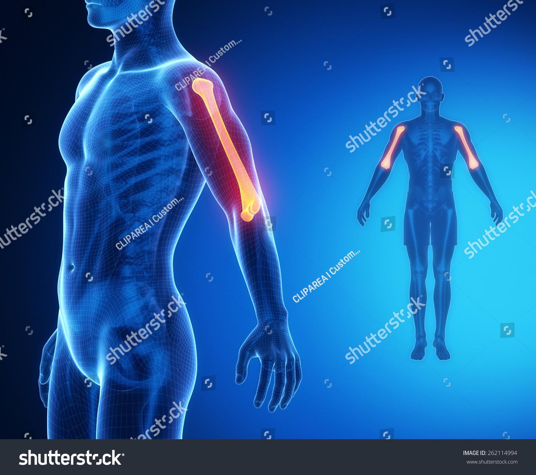 Humerus Bone Anatomy Xray Scan Stock Illustration 262114994
