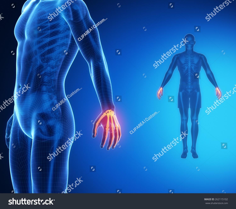 Wrist Bone Anatomy Xray Scan Stock Illustration 262115102 Shutterstock