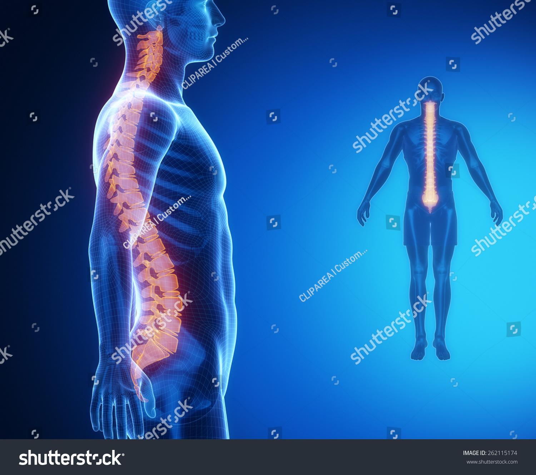 SPINE Bone Anatomy Xray Scan Stock Illustration 262115174 - Shutterstock