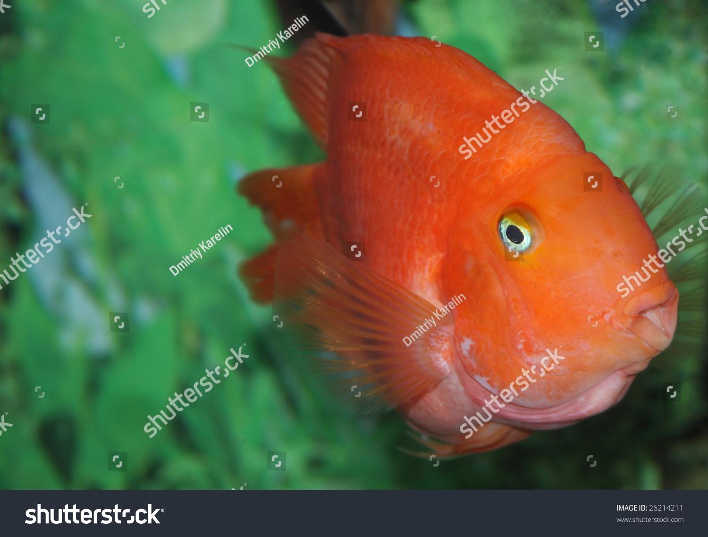 Colorful Red Fish Aquarium Stock Photo 26214211 - Shutterstock