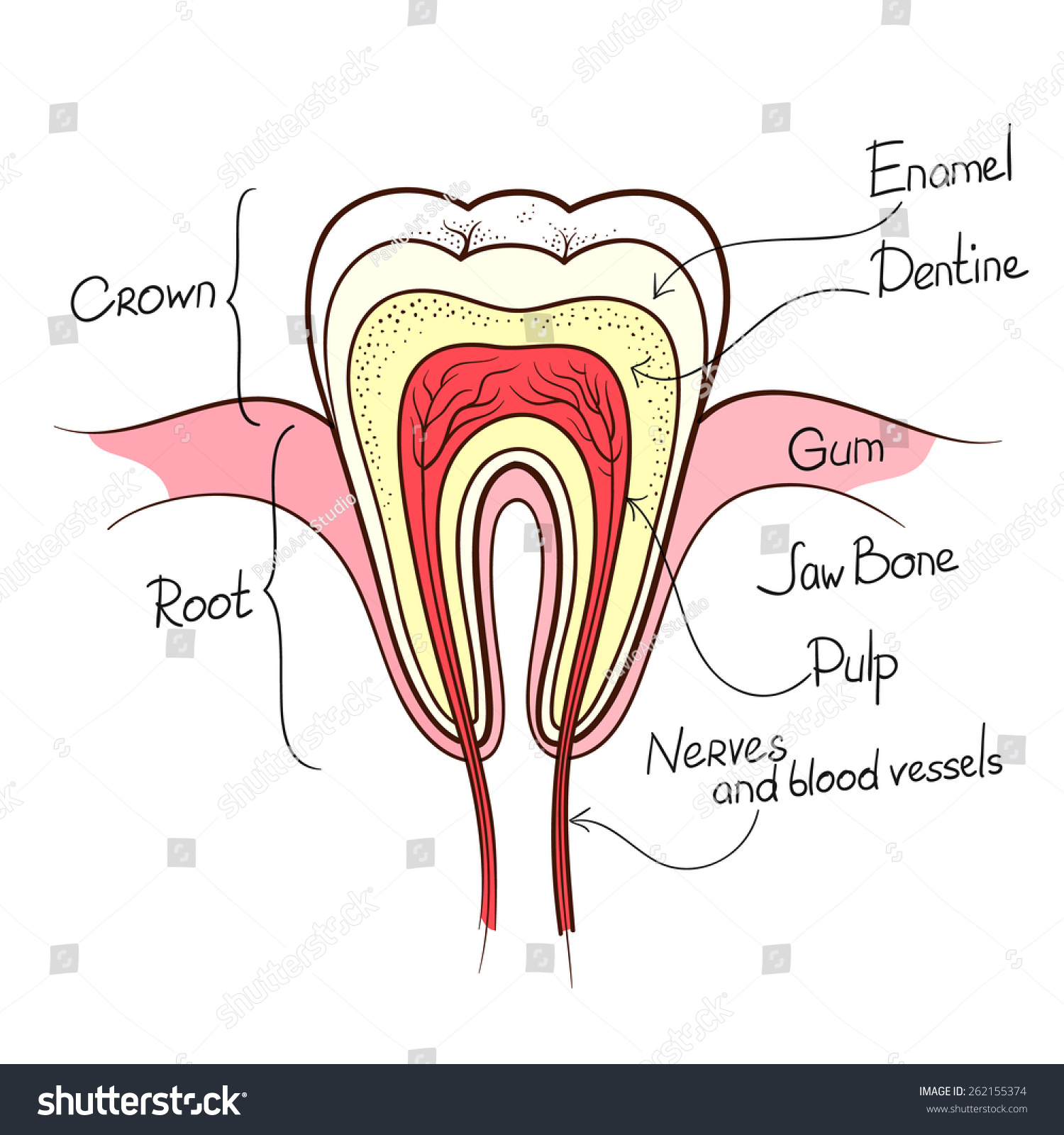 Tooth Cut Anatomy Layout Outline Color Stock Photo (Photo, Vector ...
