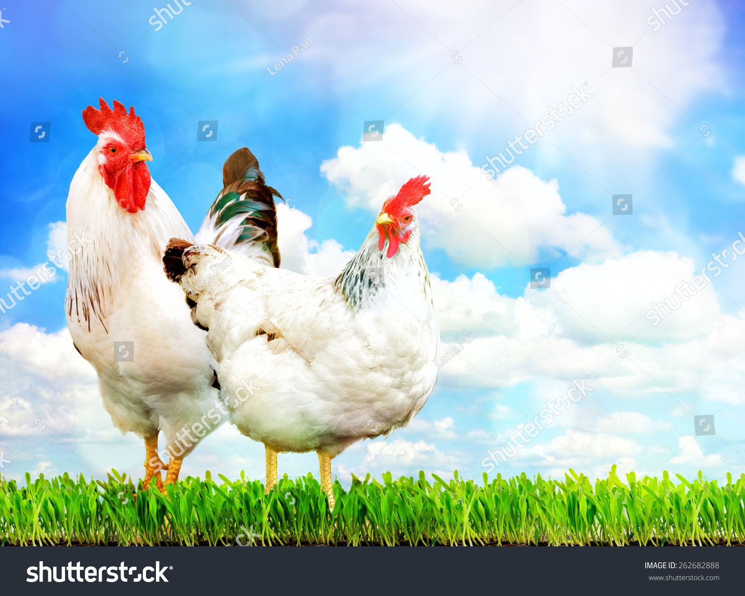 White chicken and white rooster standing on a green grass against sky