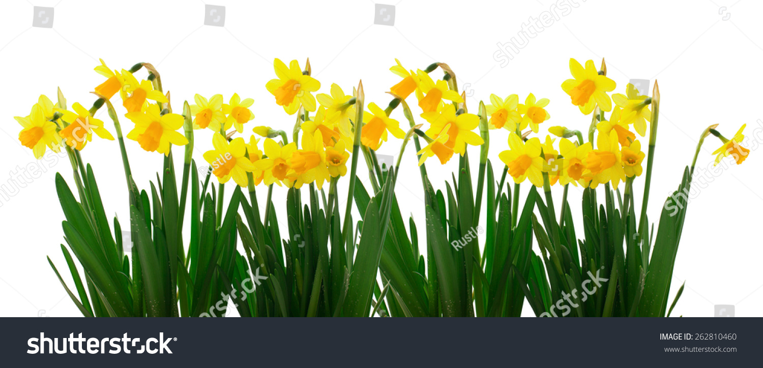 Group Flowers Yellow Daffodils On White Stock Photo Royalty Free
