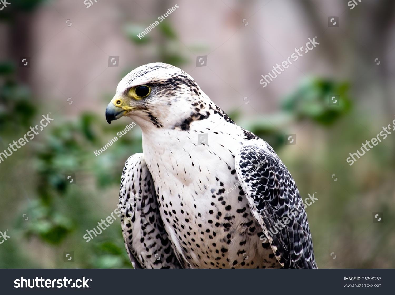 Silver Gyrfalcon, Bird Of Kings Stock Photo 26298763 ...