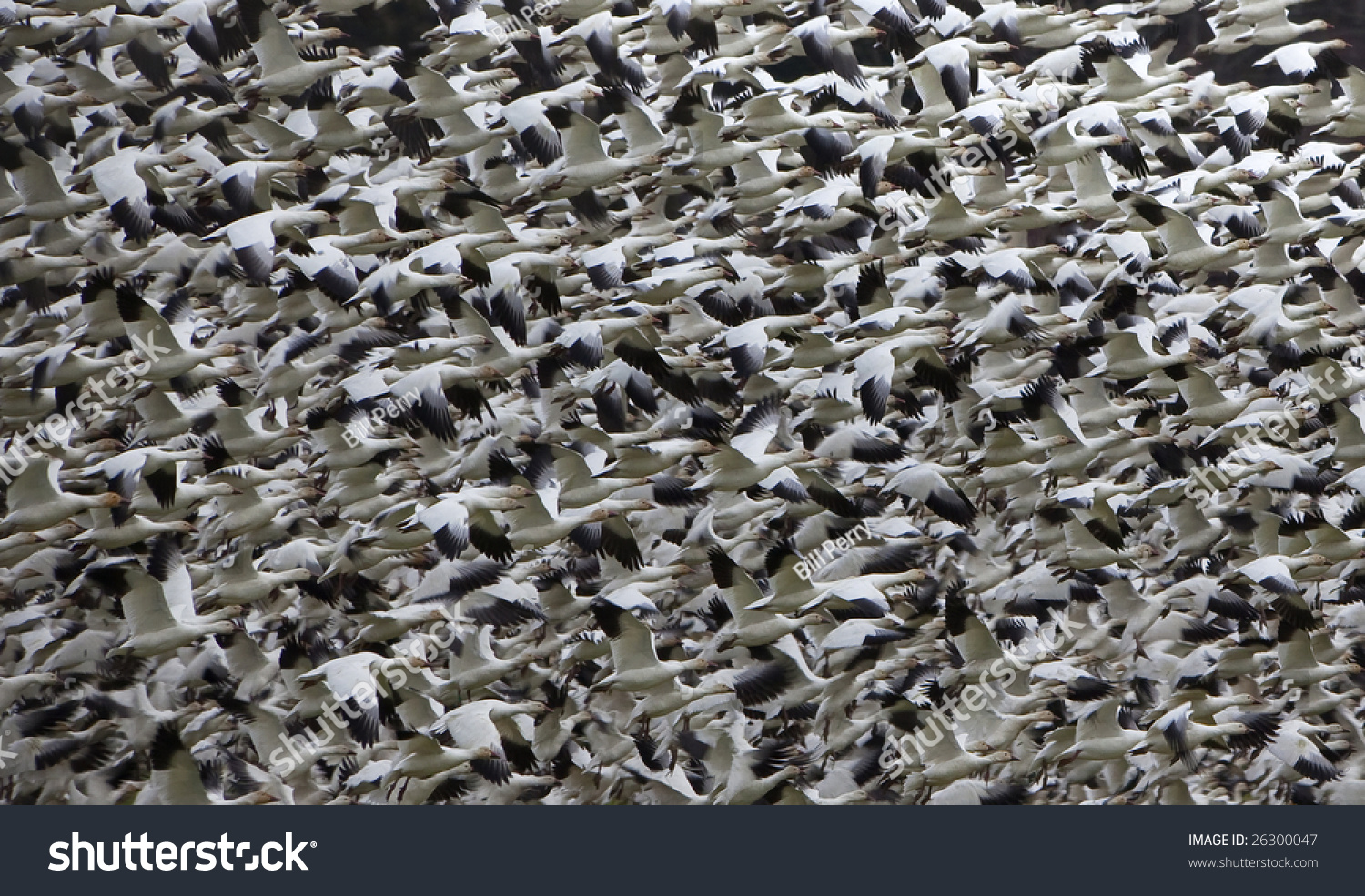 how to call snow geese
