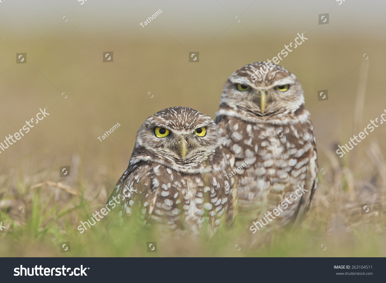 Burrowing owls stern directly at you. Focus on left one.
