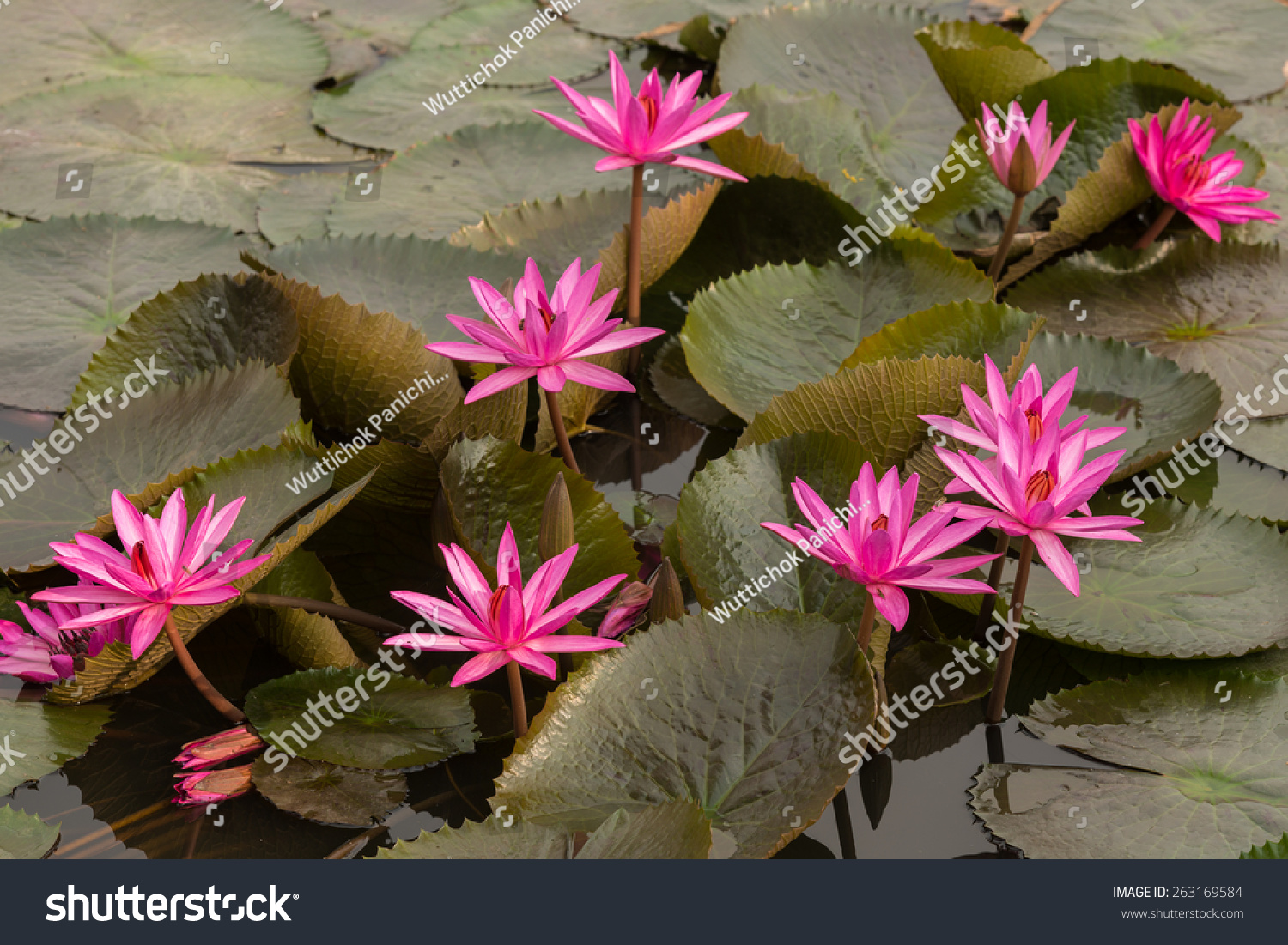 Close up pink color fresh lotus blossom or water lily flower id 263169584 izmirmasajfo