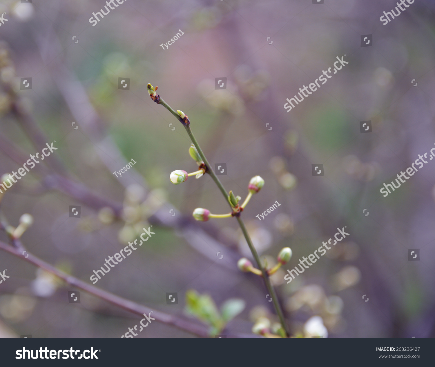 Colors Of Spring Flower Buds On The Branches Of A Bush Toned Photo