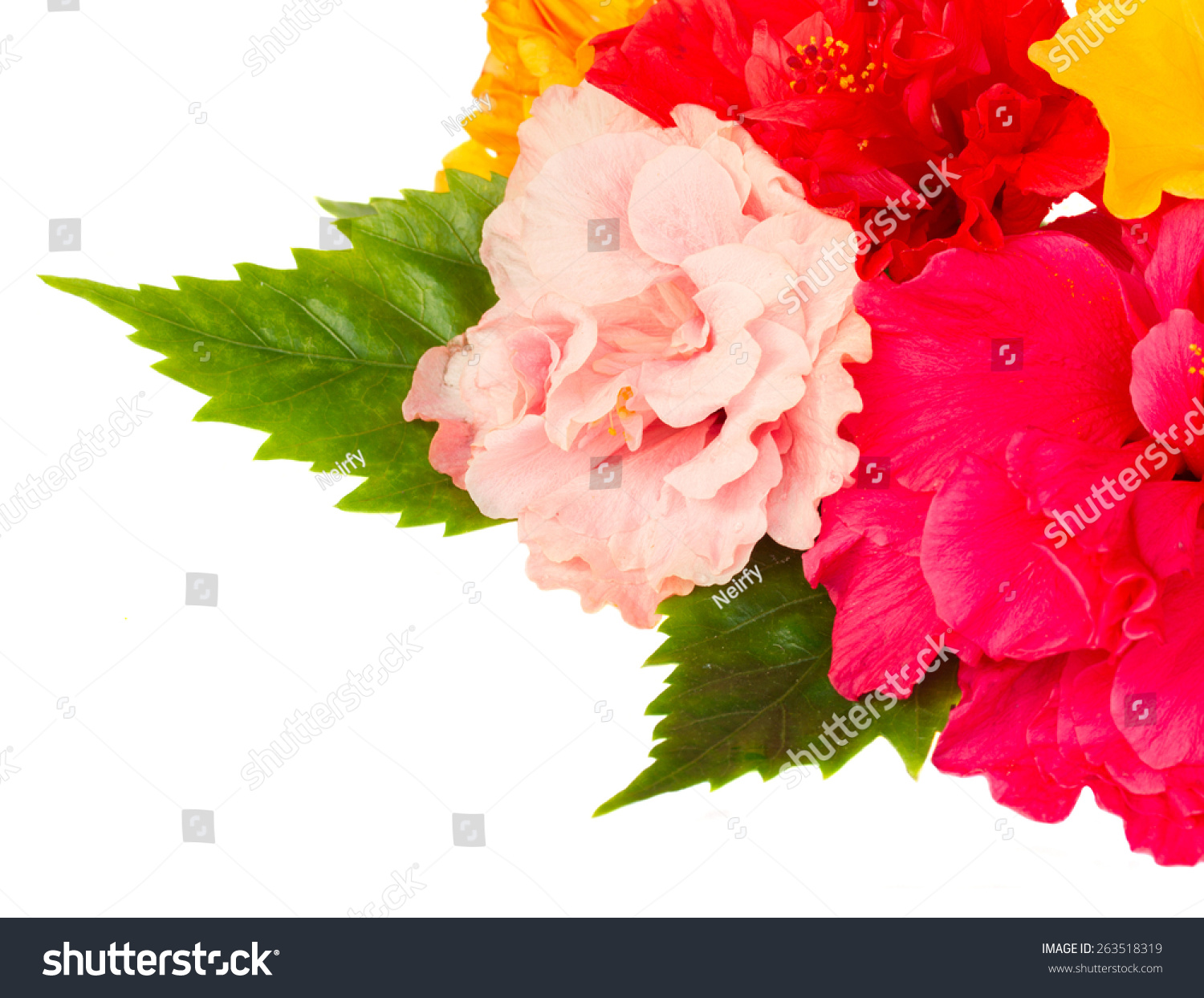 Fresh Hibiscus Flowers Close Isolated On Stock Photo Royalty Free