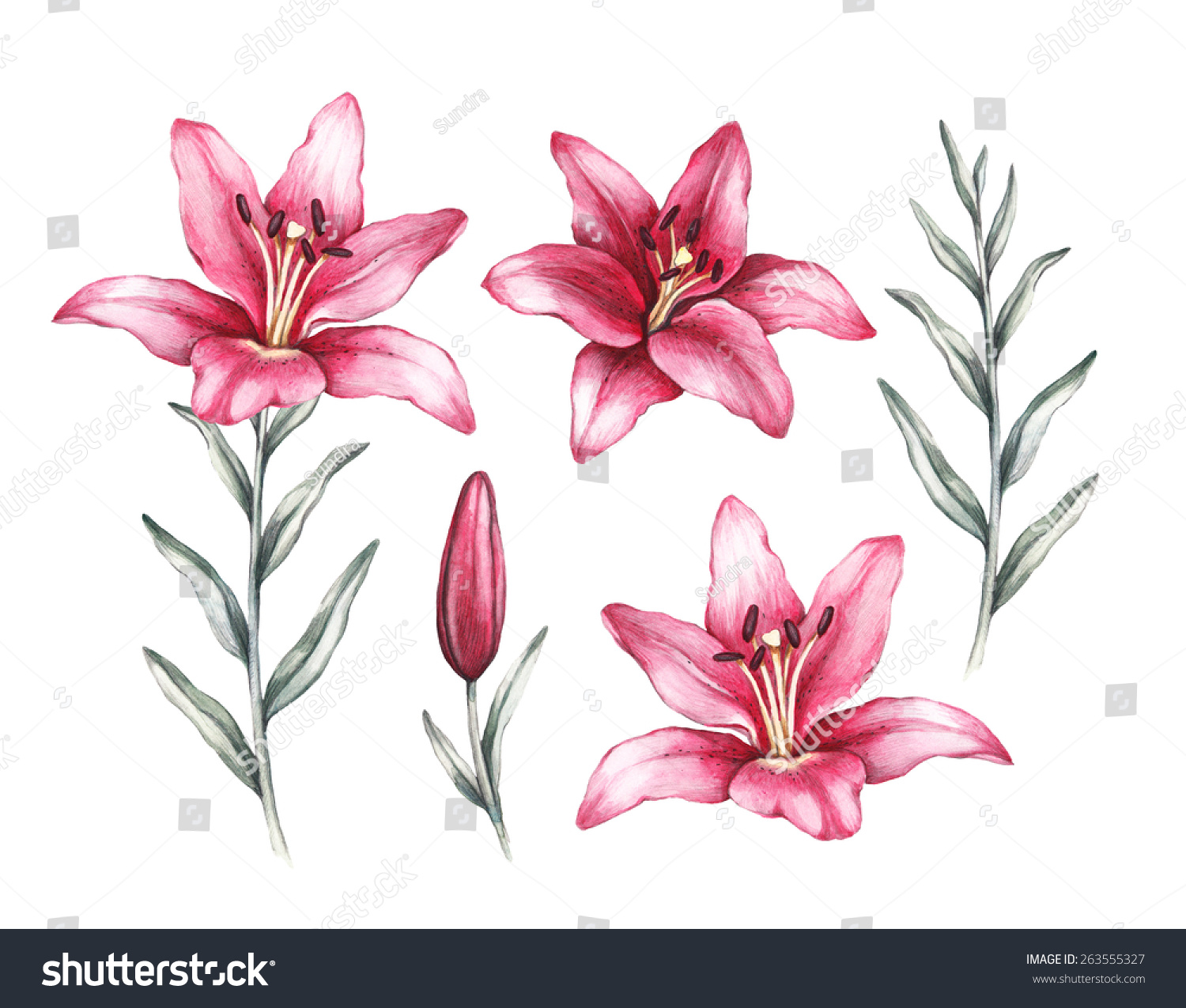 Drawings Lily Flowers Stock Illustration 263555327 Shutterstock