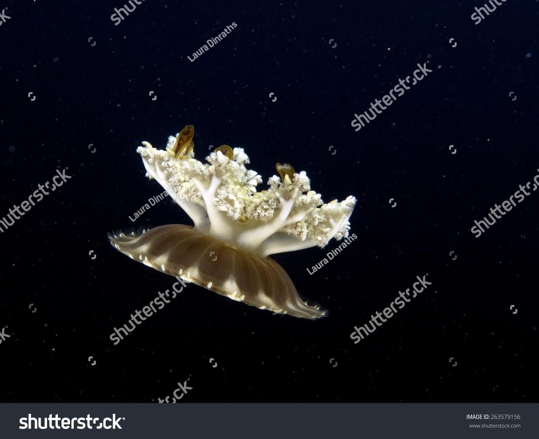 Beautiful Upside Down Jellyfish Swimming Blue Stock Photo
