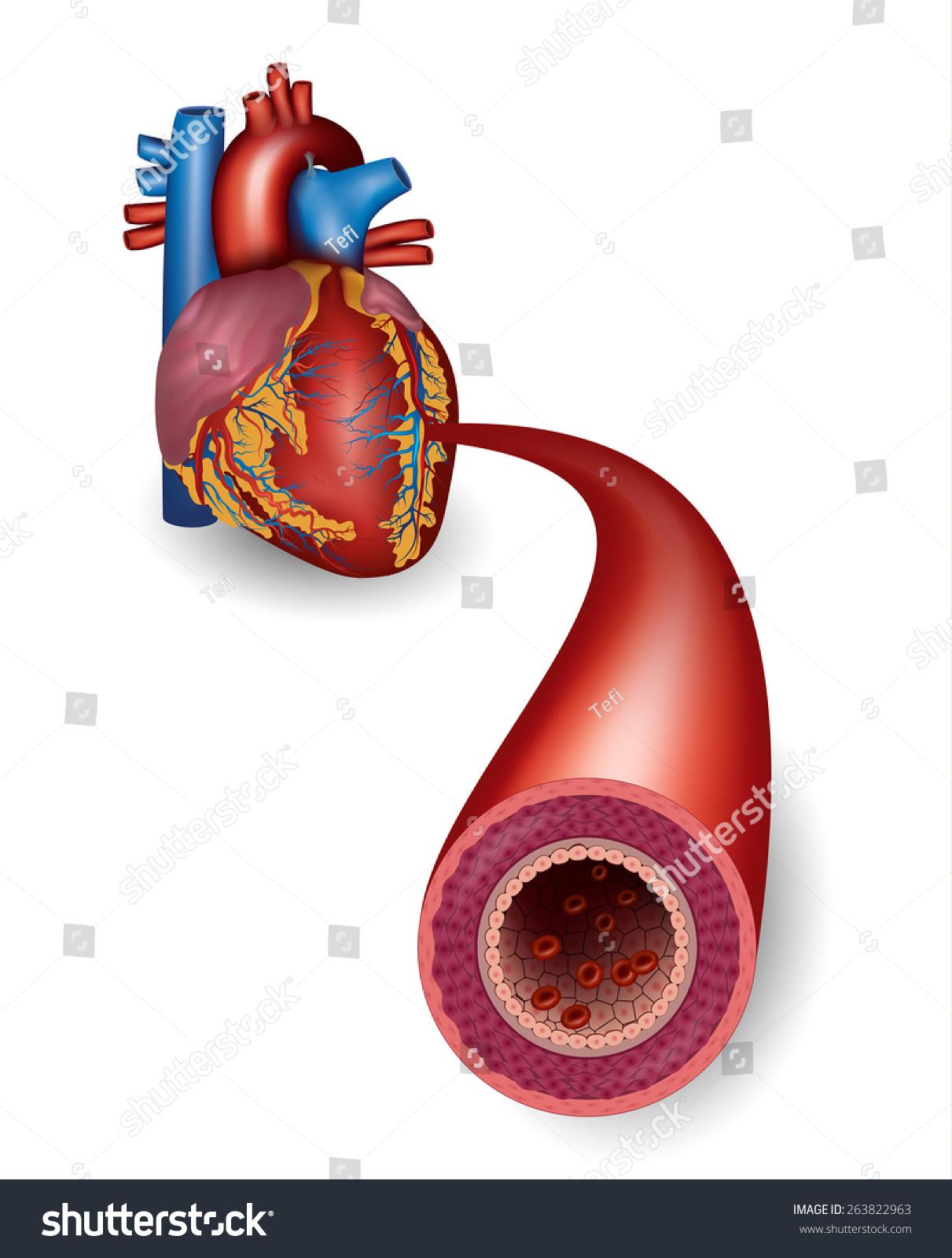 Healthy Artery Heart Anatomy Stock Vector 263822963 - Shutterstock