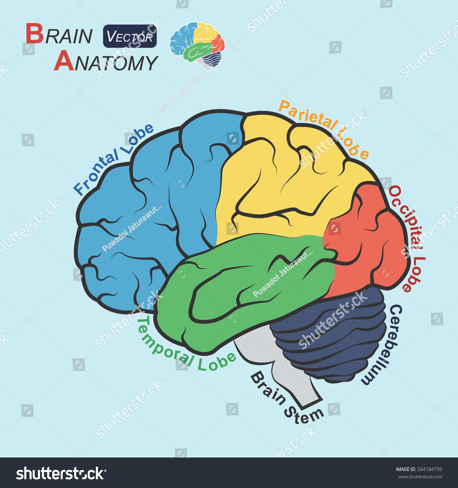 Brain Anatomy Flat Design Frontal Lobe Stock Vector 264184799