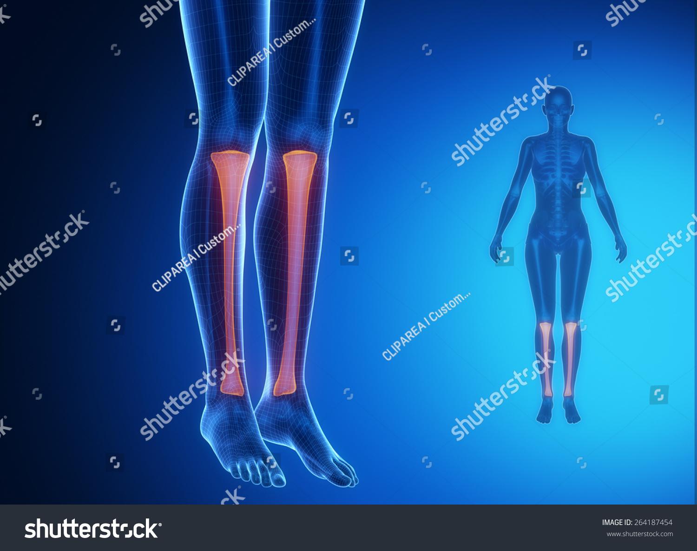 Tibia Anatomy Medical Scan Stock Illustration Royalty Free Stock