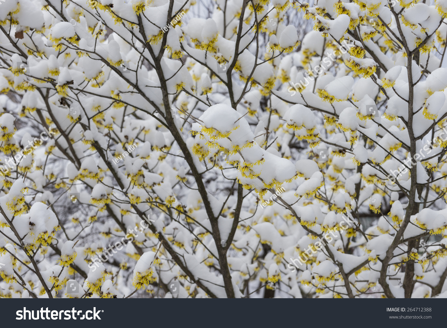 Arnold Promise Tree Yellow Flowers First Spring Flowers Under The