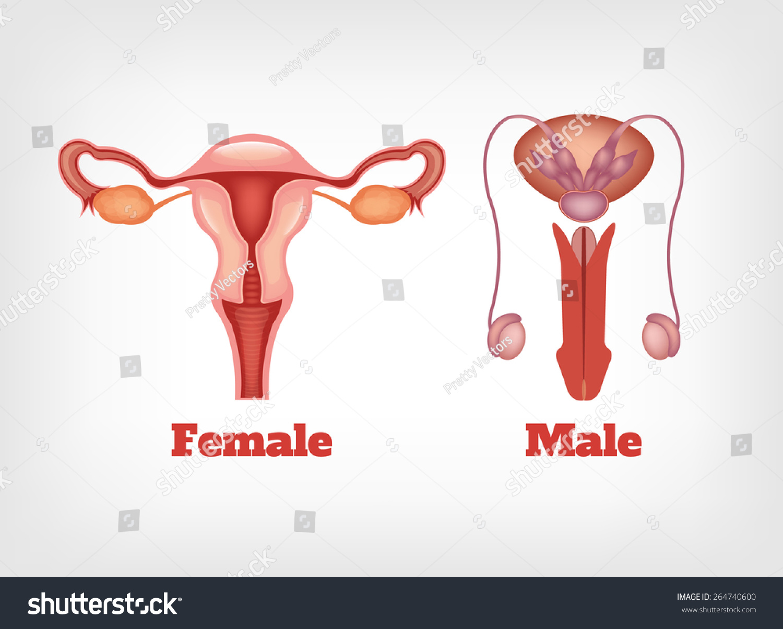 Man Woman Reproductive System Vector Icon Stock Vector 264740600 ...