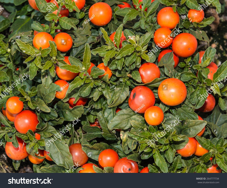 Bush Orange Berries Solanum Pseudocapsicum Stock Photo Edit Now