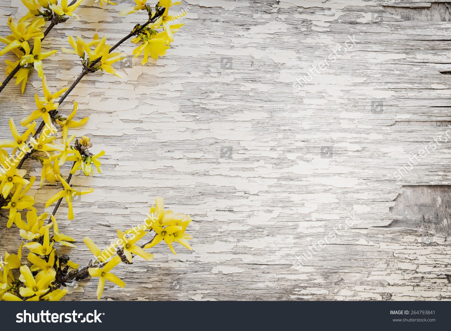 Blooming Forsythia Spring Background Yellow Flowers Tree Stock Photo