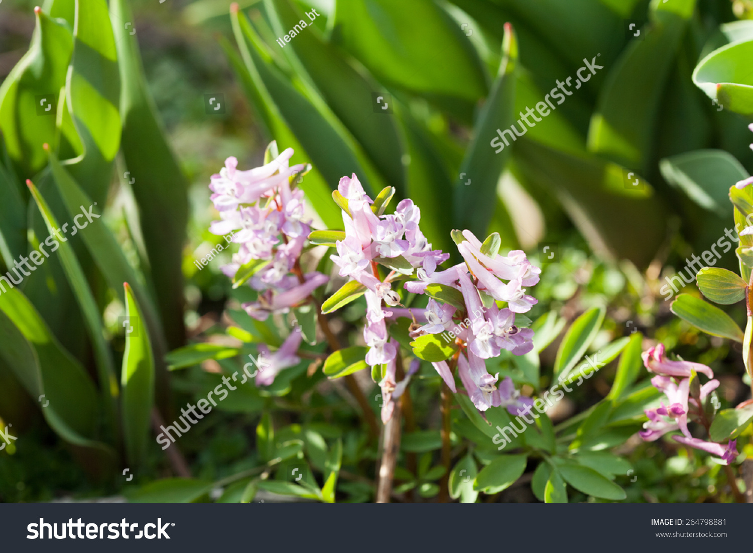 Stagger weed corydalis cava plant purple stock photo edit now stagger weed corydalis cava plant with purple and white flowers with natural background mightylinksfo