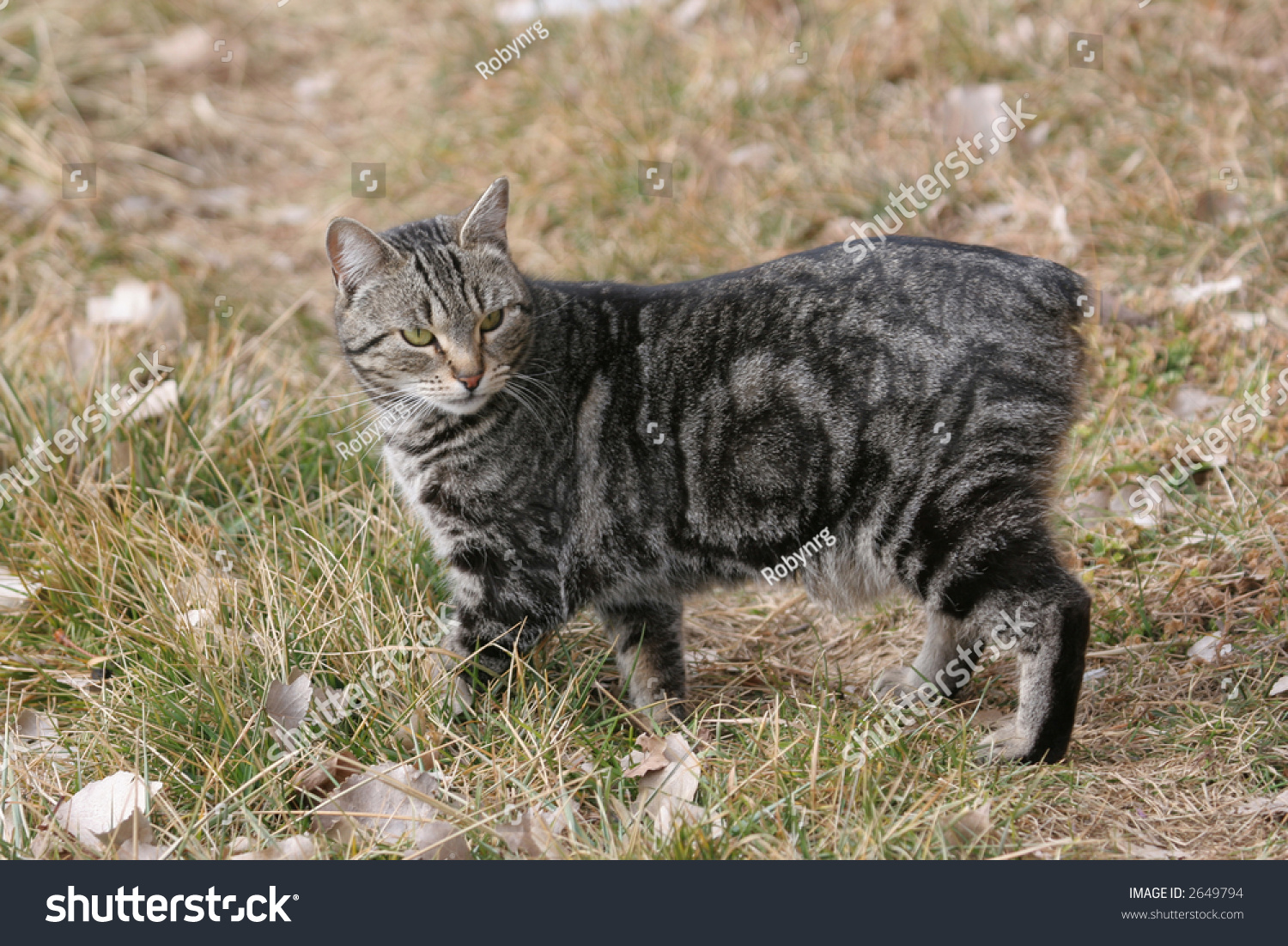 Brown Classic Tabby Manx Cat Outdoors Stock
