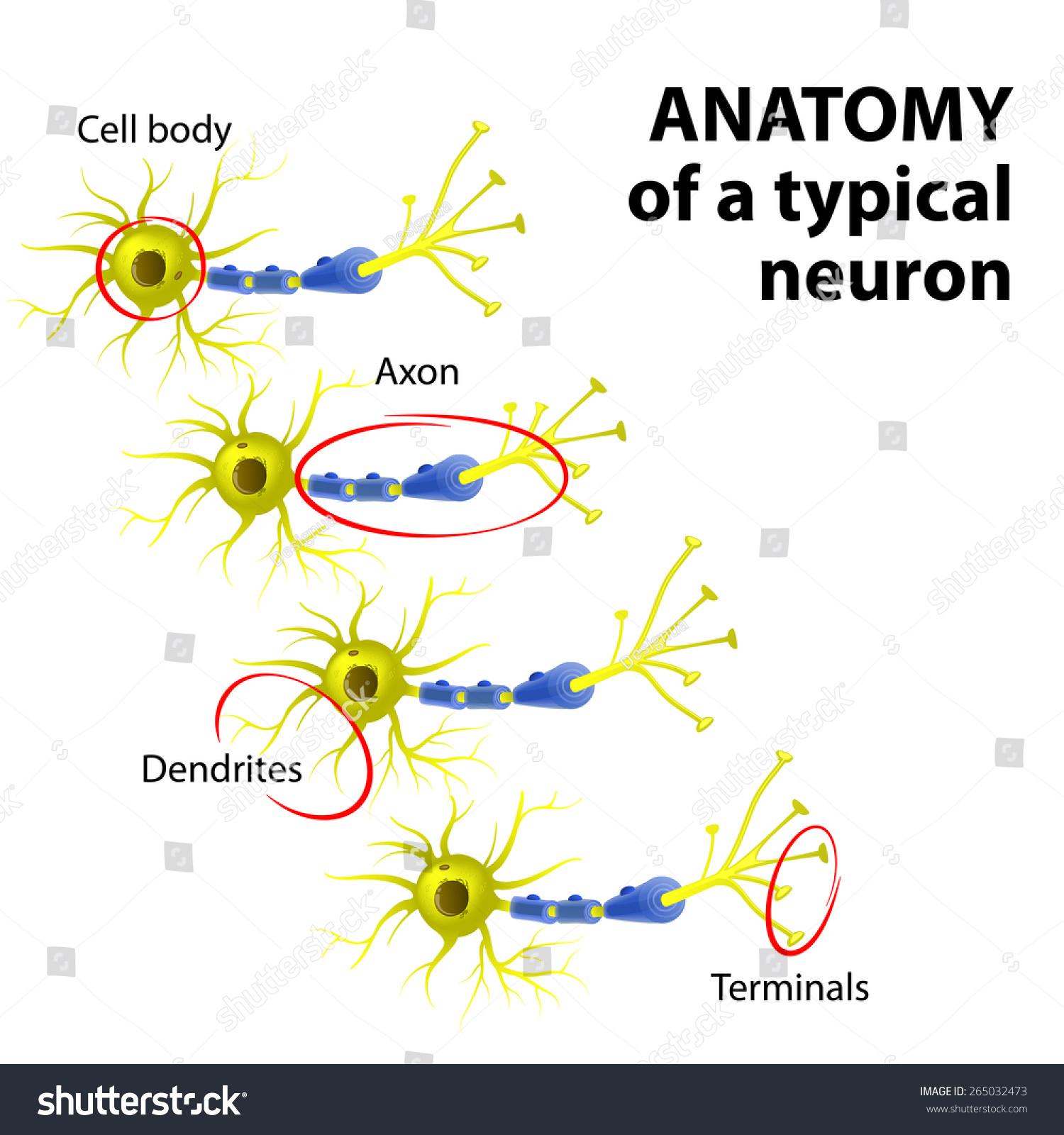 Anatomy Typical Multipolar Neuron Dendrite Cell Stock Vector ...