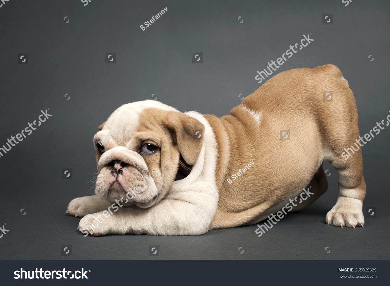 Cute English Bulldog Puppy On Gray Stock Photo Edit Now 265065629