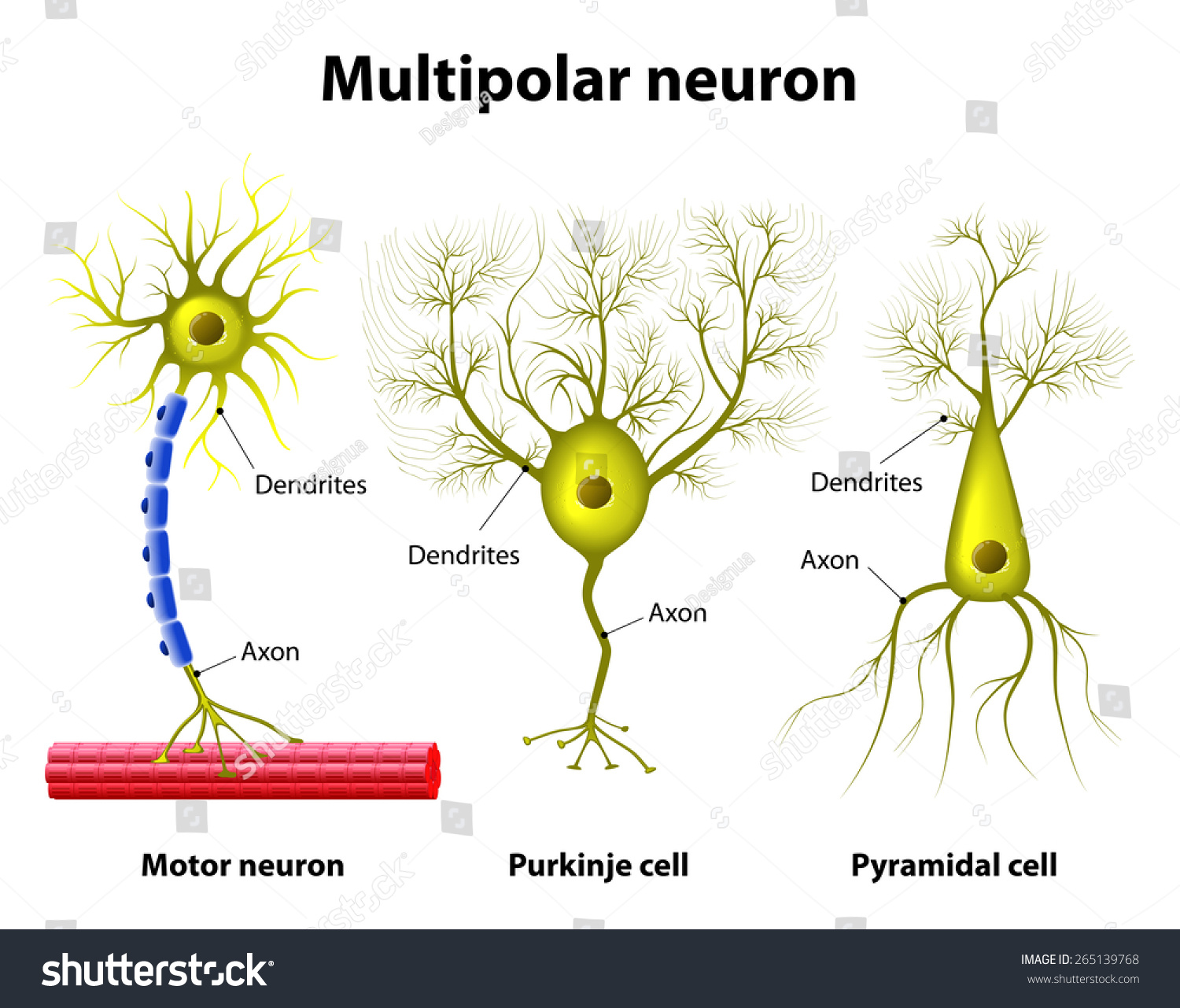 Different Kinds Multipolar Neurons Pyramidal Cell Stock Vector ...