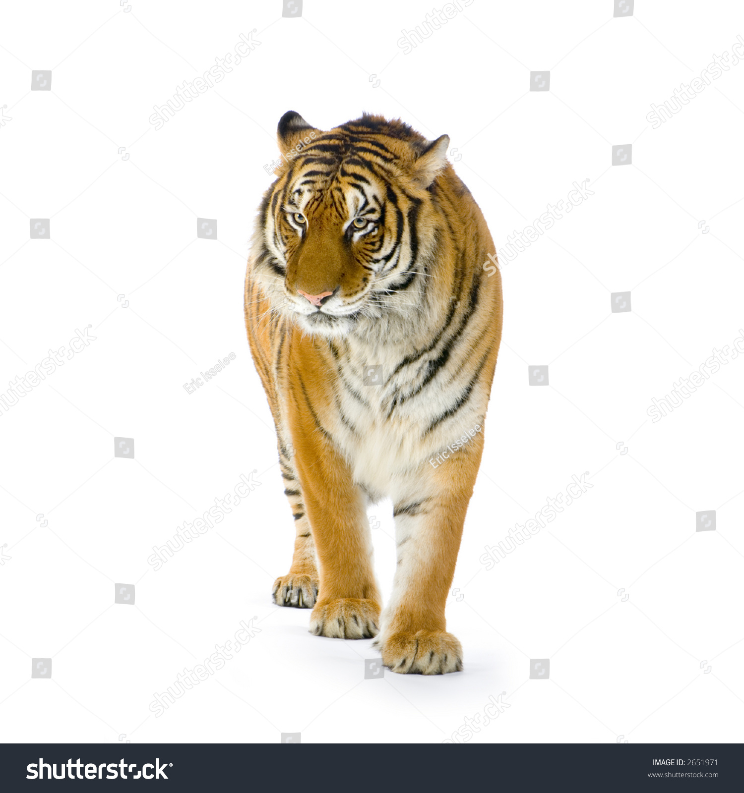 tiger standing front white background all stock photo (edit now